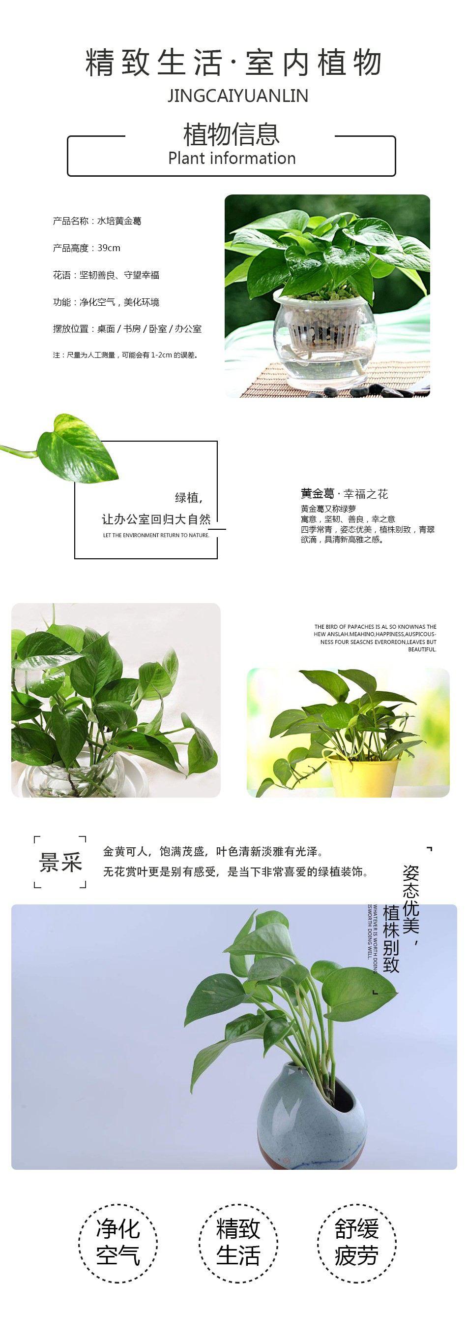 水培小绿萝详情页01.jpg